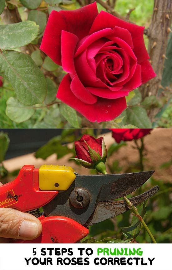 5 Steps To Pruning Your Roses Correctly Roses Are One Of The Most Popular Plants Grown Worldwide Their Beauty Is Charming And They A Prune Planting Roses Rose