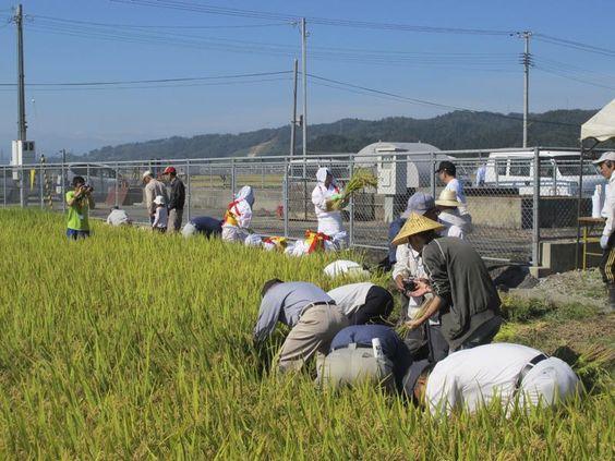 抜穂祭』が終わると、集まった稲刈り参加者の皆さんが田んぼに入り、稲刈りが始まりました。皆さん手際がよく、刈り取ってから束ねるまでの一連の動作に無駄がなく、あっという間に稲の山ができていきました。初めて稲刈りを体験した方も束ね方を教わりながら、丁寧に作業を行っていました。
