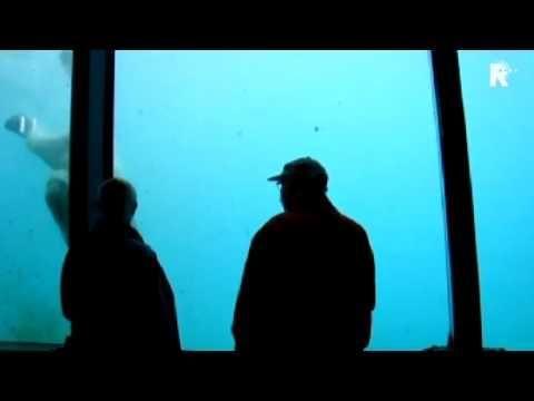 Polar Bear Cracks Aquarium Glass
