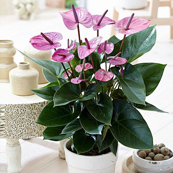 Anthurium Purple Flower Seeds Anthurium Flower Anthurium