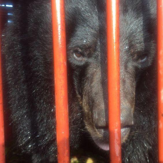 Cet ours a été libéré après toute une vie en cage
