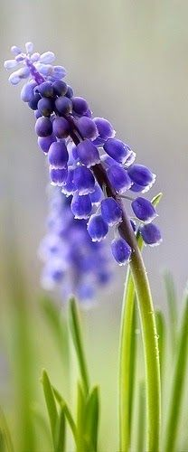 """Muscari Armeniacum - otherwise known as """"Grape Hyacinth,"""" a sweet, spring flower.  Photo courtesy of Mandy Disher on flickr."""