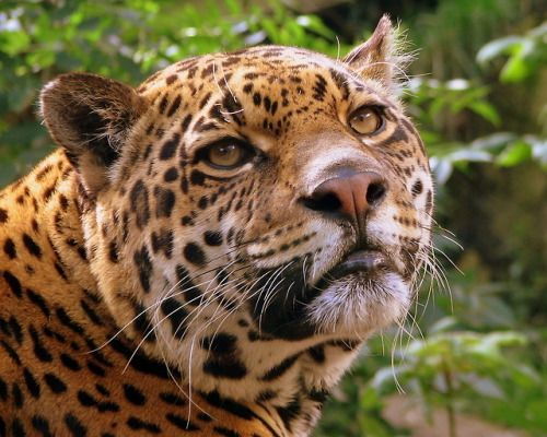 Wikipedia Picture Of The Day On June 28 2018 A Jaguar Edinburgh Zoo Jaguar Pictures Animal Species
