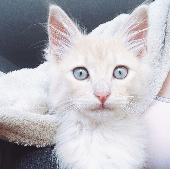 Gato olho azul