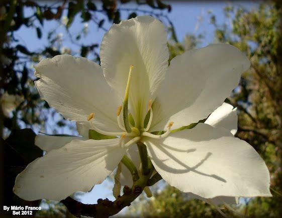 """Flower of the Bauhinia variegata """"Candida"""" - tree Meu cantinho verde: Árvores Ornamentais:"""