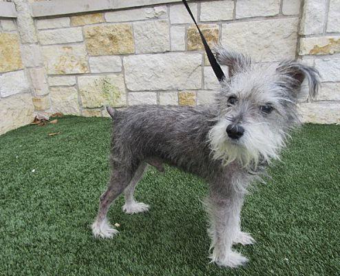 North Richland Hills Tx Schnauzer Miniature Meet Cramer 50 To Adopt A Dog For Adoption Dog Adoption Pet Adoption Pets