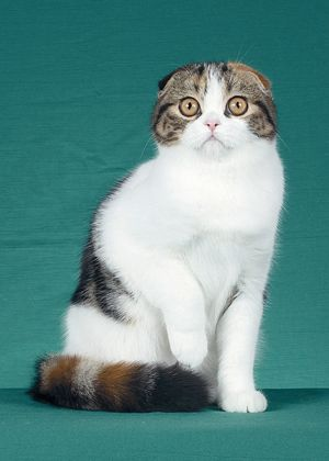scottish fold o primeiro com orelhas incomuns - #scottishfoldkittens -Tops Scottish Fold Cat Breeds at Catsincare.com!