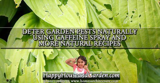 Deter Garden Pests Naturally Using Caffeine Spray and More Natural Recipes
