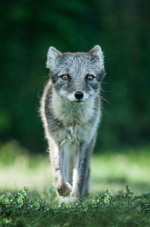 Artic fox gray cool animals