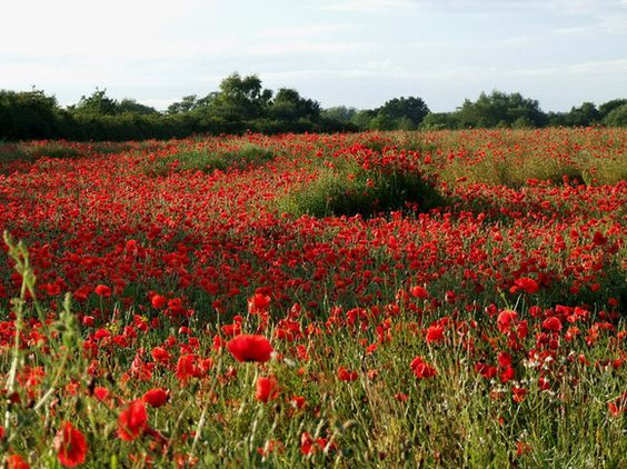 Flanders Poppies: I know just where to plant these.