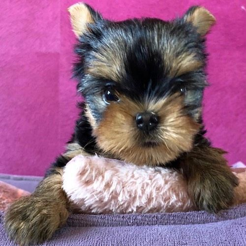 Nene Micro Yorkie Puppy Therapy Llc In 2020 Teacup Yorkie