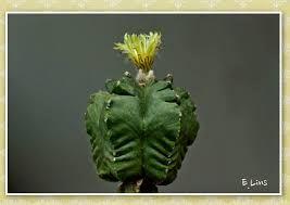 Resultado de imagem para Cleistocactus colademononis
