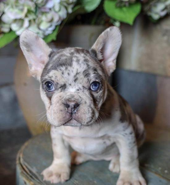 French Bulldog Puppies For Sale Eastern Ohio French Bulldog Puppies Bulldog Puppies Merle French Bulldog