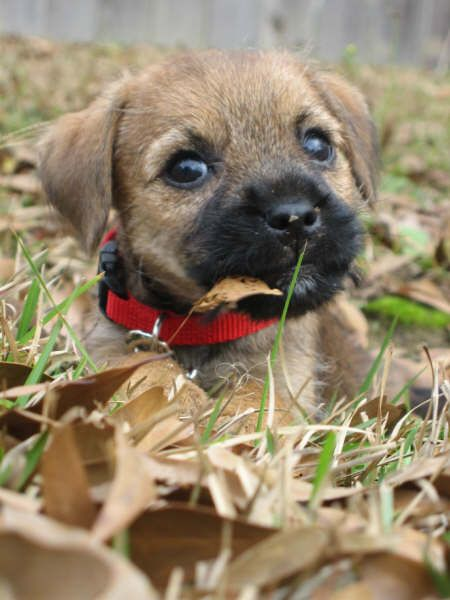 Puppies! - Border Joy - For Border Terriers & Their People