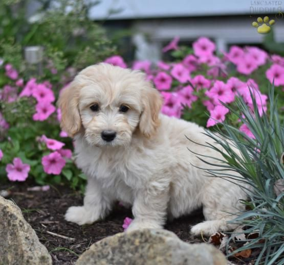 Lance Mini Goldendoodle Puppy For Sale In Millersburg Oh Lancaster Puppies Goldendoodle Puppy For Sale Puppies For Sale Mini Goldendoodle Puppies