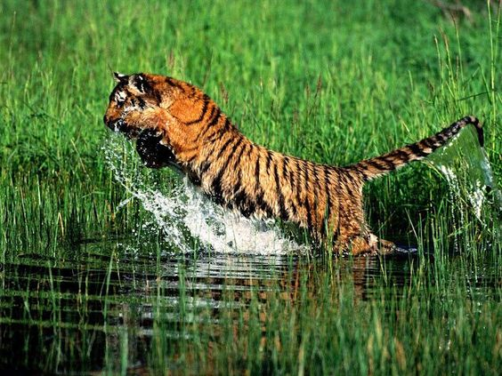 : Tiger Wallpapers, Big Cats Tigers, Wild Animals, Animal Wallpapers, Amazing Animals, Wild Tigers
