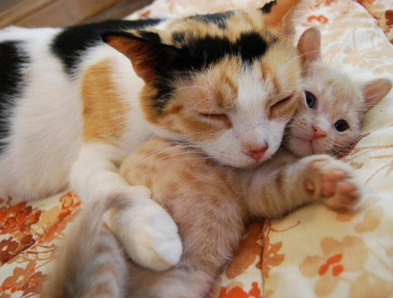 cute calico cat mama cuddles with her kitten