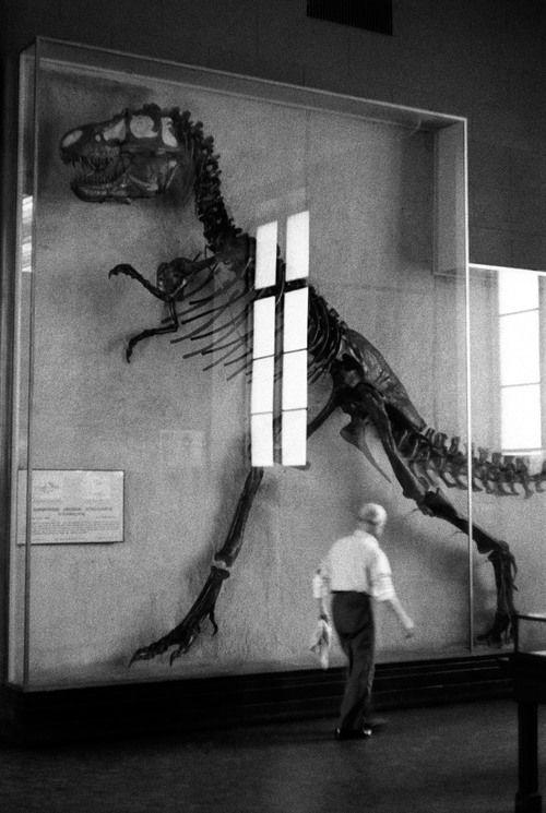 Tyrannosaurus Rex at the American Museum of Natural History. Elliot Erwin, 1953.
