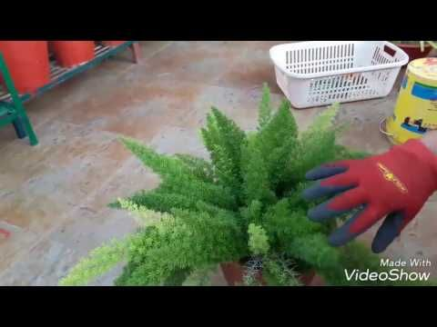 Care And Propagation Of Fox Tail Fern Youtube In 2020 Ferns Care Ferns Foxtail Fern