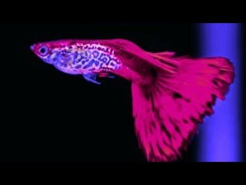 All Red Color Guppy In One Video Youtube