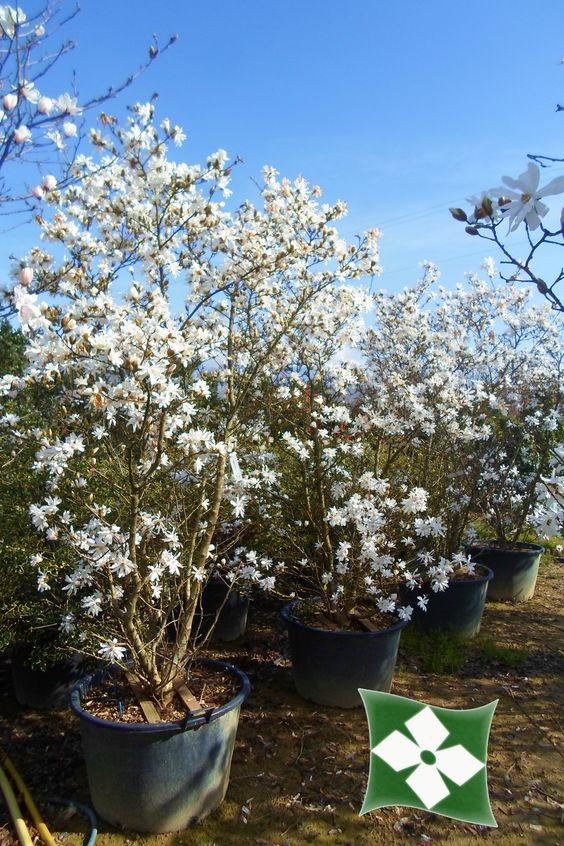 magnolia stellata magnolia a foglia caduca feuilles caduques pinterest magnolias. Black Bedroom Furniture Sets. Home Design Ideas