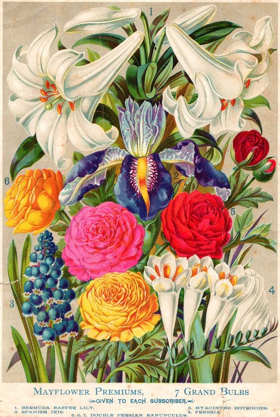 Antique seed packet - Lilies, Iris, Freesia, Ranunculus, Hyacinth: