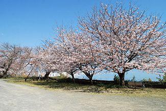 大分市との境目に近い広場で咲き誇る桜。目の前には別府湾が広がり、清々しい気分で観賞することができる。紺碧とピンクの対比は見惚れる美しさ。振り返れば背後には高崎山のヤマザクラがあり、ロケーションも最高!