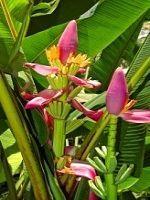 Bananenbaum überwintern – im Haus & im Freien