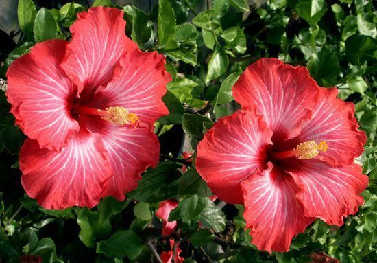 Hibiscus Red Flower Plant Real Hibiscus Flower Red Hawaiian