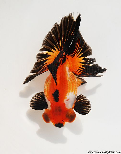 Black white and dark gold tricolor butterfly telescope for Pesce rosso butterfly