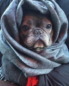 Pin By Lorraine Loughborough On Dogs French Bulldog American