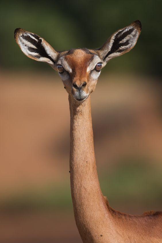 Giraffe neck - A female gerenuk, also aptly known as the giraffe-necked antelope. A denizen of the arid Samburu in North-eastern Kenya.