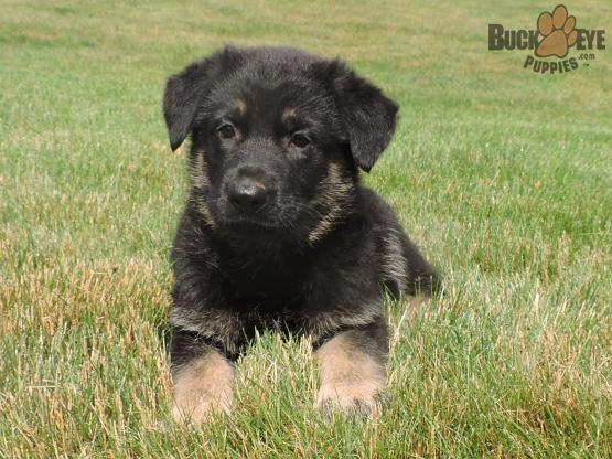 Jewel German Shepherd Puppy For Sale In Lagrange In German Shepherd Puppies Puppies German Shepherd