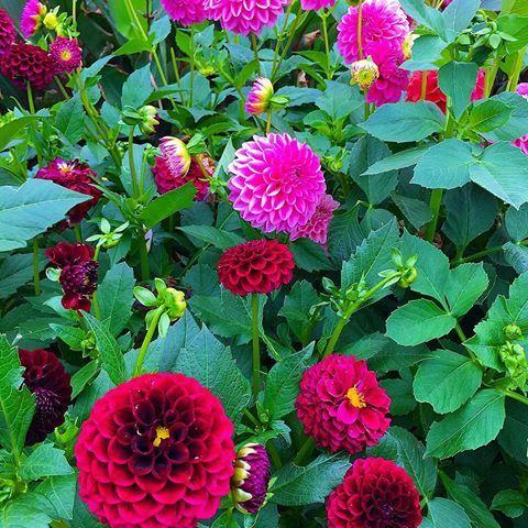 Live Friday Flowers End Of Another Beautiful Dahlia Season Dahlia Dahlias Autumn Gardening Garden Gardens Friday Flower Autumn Garden Flowers Dahlia