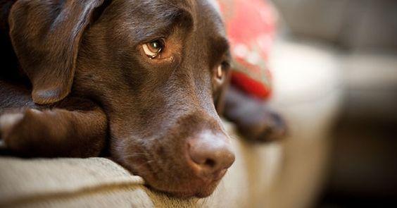 Anche i Labrador soffrono la crisi di mezza età