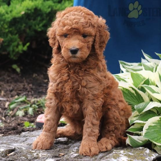 Goldendoodle Poodle Goldenretriever Charming