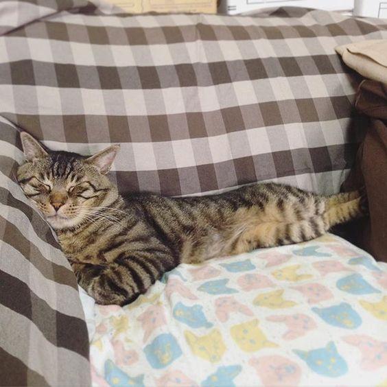 夕方ムサシさん今日はドロップキック寝Dropkick!! #musashi #mck #cat #キジトラ #ムサシさん by _daisy