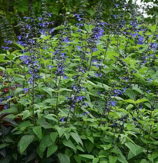 Salvia Guaranitica Black Bloom Anise Scented Sage Salvia