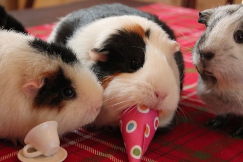 Guinea pigs at a tea party -- now I want to throw a tea party for my guinea pig Smudge!