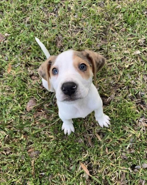 Help This Dog Find A Home Beagle Catahoula Leopard Dog Mixed