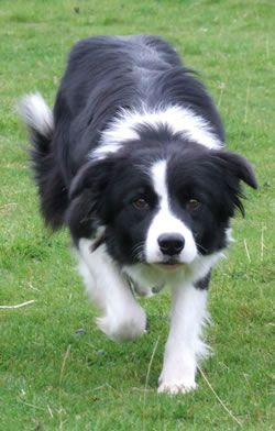 Black & White Border Collie.  Dreyfus..there are days when I miss you soooo much!!