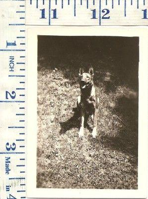 VINTAGE1940's Photograph Dog German Shepard Mix | eBay