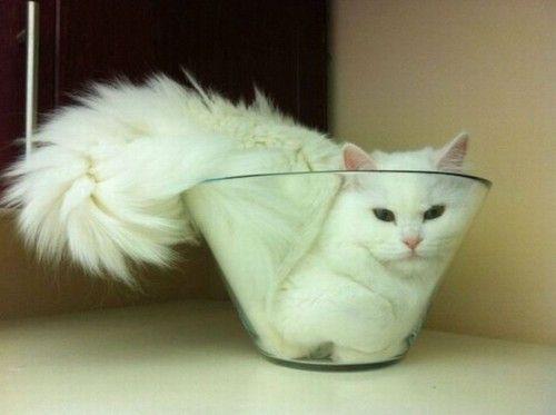 Cat in glassbowl
