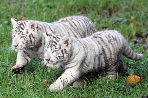 Tiger Overload!!    Two white tigers cub are pictured on December 5, 2011 at the zoological park of Cerza in Hermival-les-Vaux, northern France. The three-year-old Lisa gave birth on October 8, 2011 to two white tigers belonging to a relatively rare species. by KENZO TRIBOUILLARD