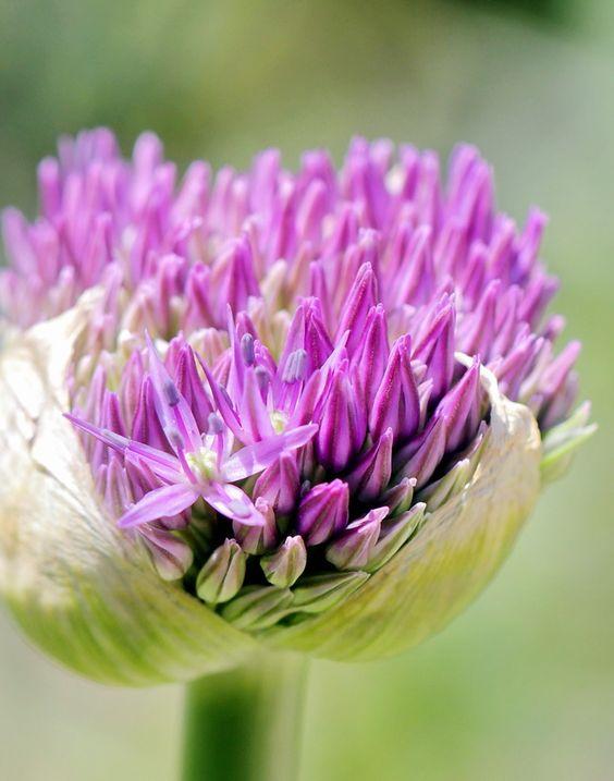 Allium Bud I by Mike Oberg