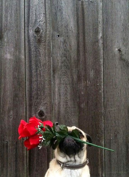 #Valentine's Day #photography #red #pug #dog #roses ToniK ⒷMine zeutch.com
