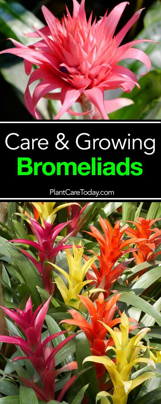 Bromeliad Care How To Tips On Growing Bromeliad Plants Bromeliads Garden Plant Care Bromeliads