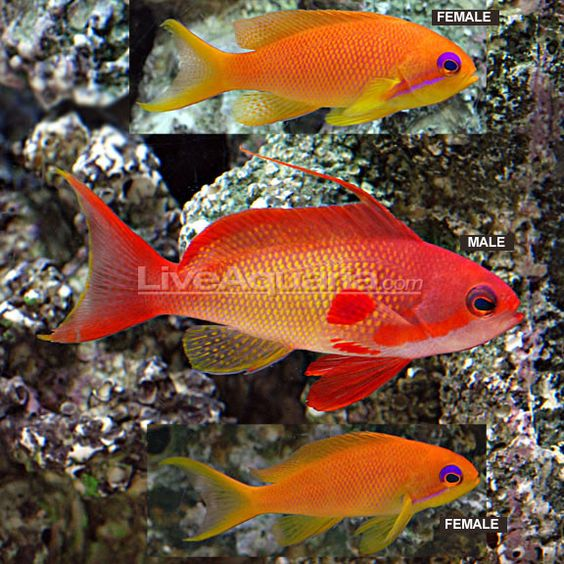Indian Ocean Lyretail Anthias - I have a single female ...