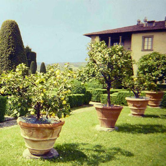 potted dwarf lemon tree image credit  florence  tuscany  italy