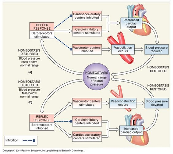 Cardiovascular system: Short-term and long-term regulation ...